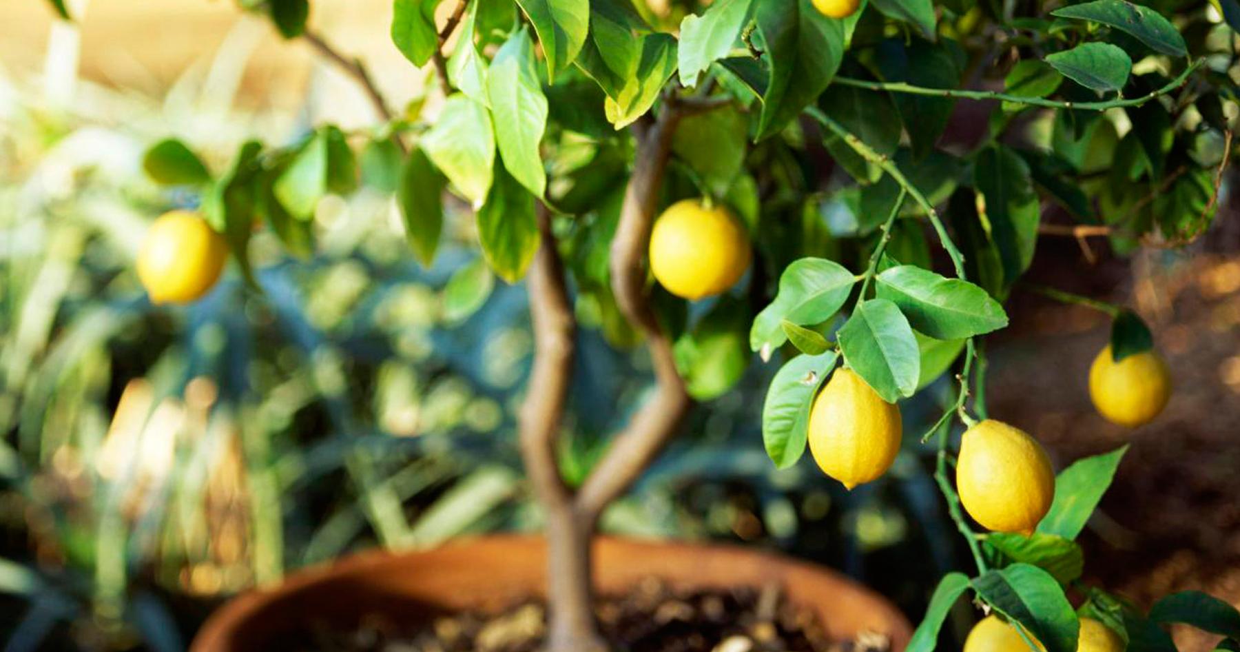 pianta-limoni-vintage-vaso-composizione
